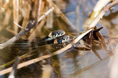 reproduction animal: Grass-Snakes (Natrix natrix) couple on river bank.