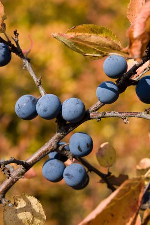 Branch of a sloe with berries in the autumn. Stock Photo