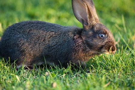 leporidae: The house rabbit sits on a green grass. Stock Photo