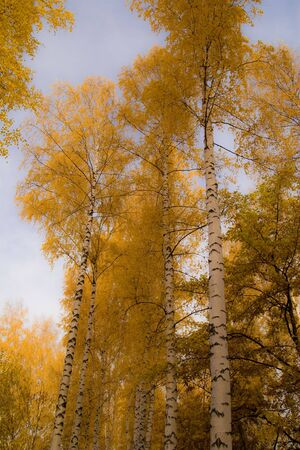 autmn: Yellow crone of birches. A vertical format of a shot