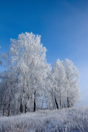 Birches in winter day. Branches are covered by hoarfrost. photo