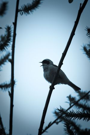 The bird perching on a branch of the tree. The male sings a love song. Stock Photo - 5152467