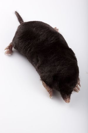 The European mole on a white background, separately. Stok Fotoğraf