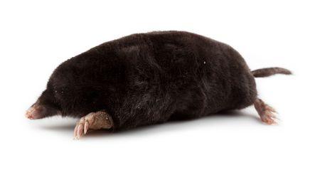 The European mole on a white background, separately. Stock Photo