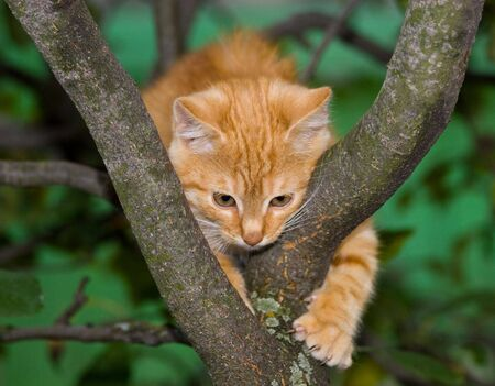 climbed: The red kitten has climbed on a tree. Stock Photo