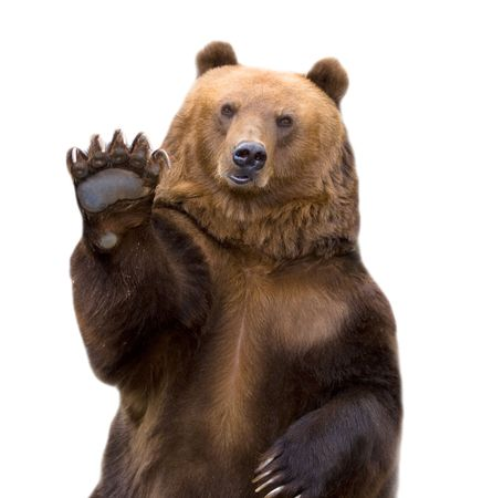 The brown bear welcomes, waves a paw. It is isolated on a white background.