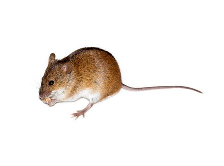 Beautiful wild mouse photographed on a white background.