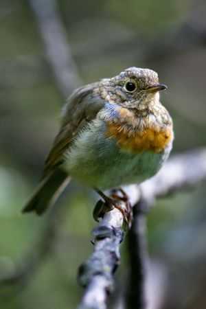 ludicrous: Just fledged bird on its first flight out of the nest.