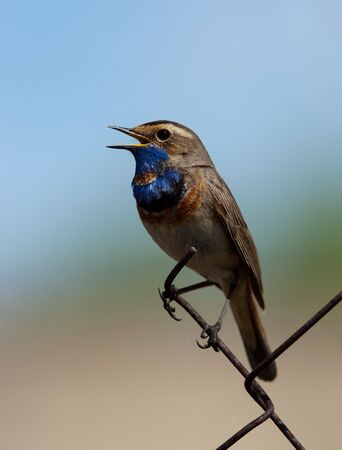 Luscinia svecica. The beautiful bird sings a spring song in the wild nature.