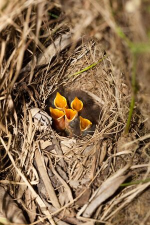 trustful: Nest of Bluethroat (Luscinia svecica). Wild bird in a natural habitat.