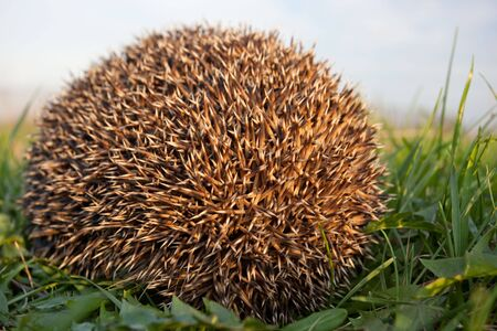 Hedgehog is nocturnal, and if alarmed will roll itself into a ball, protecting itself against potential predators with its spines.