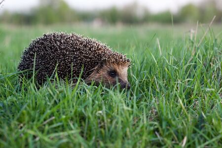 The hedgehog left on evening hunting. It goes on a green grass.