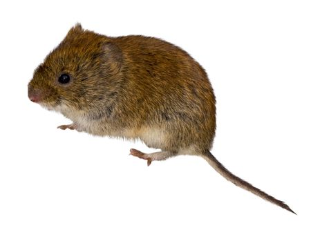 Bank Vole against a white background.