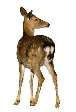 sika deer: Sika Deer (Cervus nippon) against a white background.