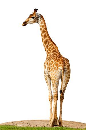 Giraffe (Giraffa cameleopardalis) against a white background. photo