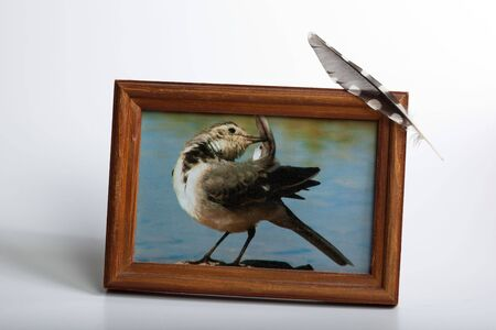 Photo of the White Wagtail in the frame (Motacilla alba). photo