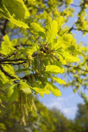 Quercus robur, Oak in a green spring. Stock Photo