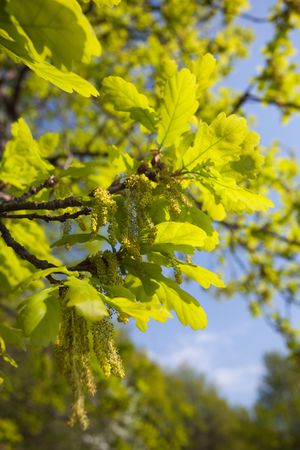 Quercus robur, Oak in a green spring. Stock Photo