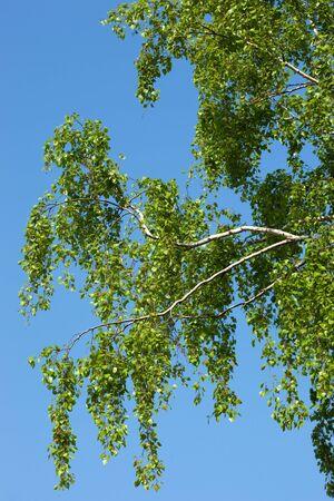 betula pendula: Betula pendula, Birch. Rami di una frusta con giovani foglie verdi.