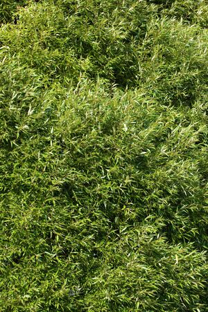 sallow: The tree (lat. Salix). Willow, sallow, osier.