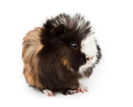 Abyssinian guinea pig (Cavia porcellus) on a white background. It is cut out on a white background photo