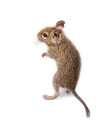ludicrous: The Degu (Octodon degus) is a small caviomorph rodent that is endemic to Chile. It is cut out on a white background.