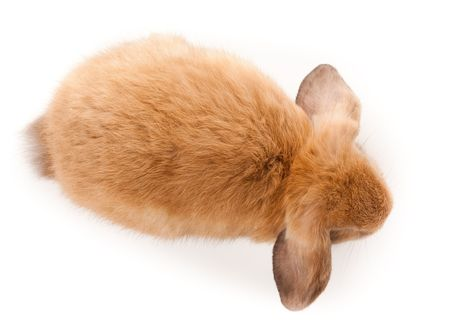 laughable: Miniature Lop, rabbit. It is cut out on a white background.