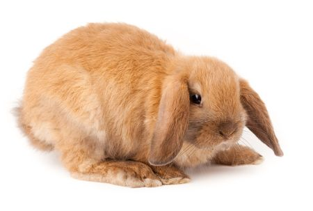 lop lop rabbit white: Miniature Lop, rabbit. It is cut out on a white background.. Stock Photo