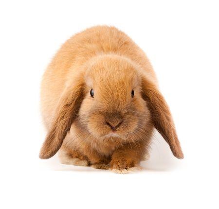 Miniatur Lop, Kaninchen. Es wird auf einem weißen Hintergrund ausgeschnitten.