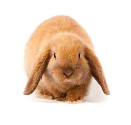 bunnies: Miniature Lop, rabbit. It is cut out on a white background.