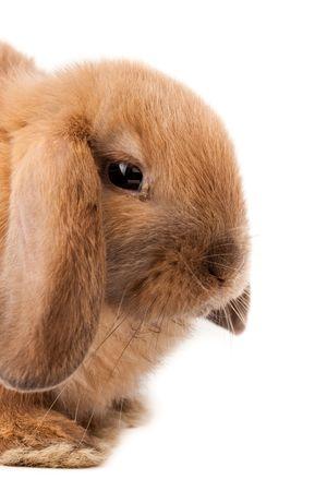 Miniatur Lop, Kaninchen. Es ist auf einem weißen Hintergrund herausgeschnitten.