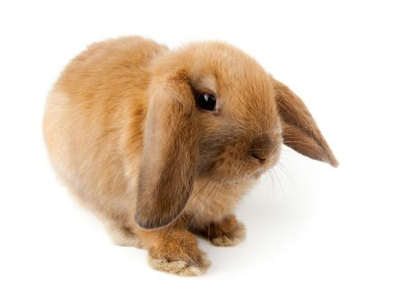 lop: Miniature Lop, rabbit. It is cut out on a white background.