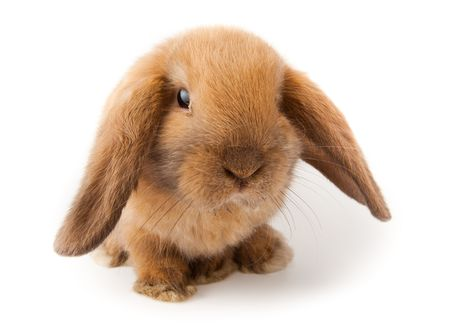 Miniature Lop, rabbit. It is cut out on a white background.