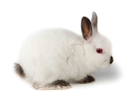 Nice white rabbit. It is cut out on a white background. photo