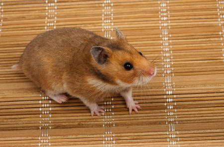 syrian: Golden, or Syrian Hamster, or Goldhamster (Mesocricetus auratus).  Stock Photo
