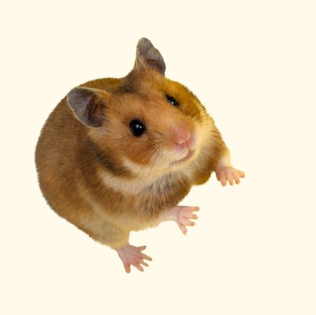 Goldhamster (Mesocricetus auratus) in studio against a white background. Stock Photo - 6479326