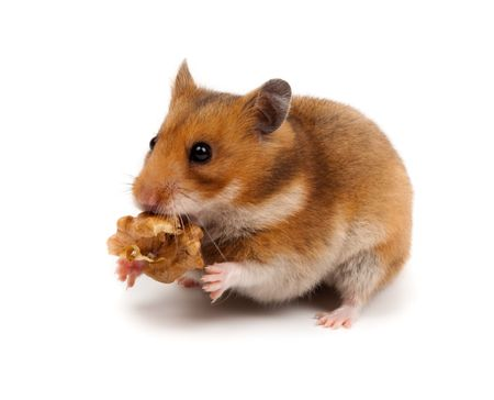 Goldhamster (Mesocricetus auratus) in studio against a white background. Stock Photo