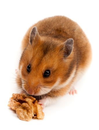 Goldhamster (Mesocricetus auratus) in studio against a white background. Stock Photo - 6479297