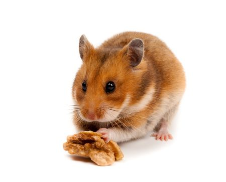 Goldhamster (Mesocricetus auratus) in studio against a white background. Stock Photo - 6479314