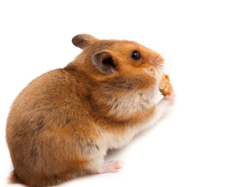 Goldhamster (Mesocricetus auratus) in studio against a white background. Stock Photo - 6479310
