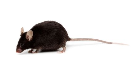 Fancy  Black Mouse in studio against a white background. Stock Photo - 6479199
