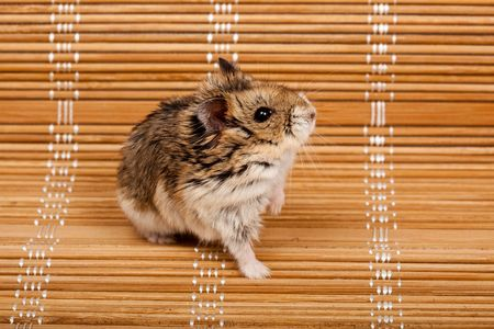 laughable: Winter White Russian Dwarf Hamster.  Stock Photo