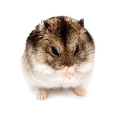 Winter White Russian Dwarf Hamster in studio against a white background.