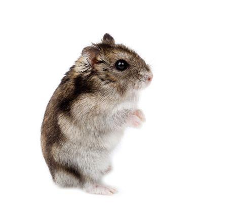 Winter White Russische dwerg hamster in studio tegen een witte achtergrond.