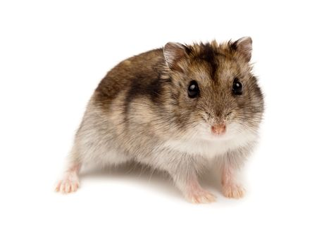 siberian: Winter White Russian Dwarf Hamster in studio against a white background.