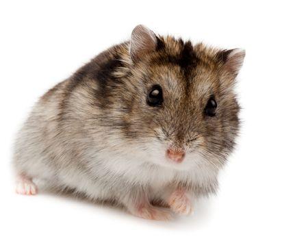 Winter Wit Russische dwerg Hamster in studio tegen een witte achtergrond. Stockfoto