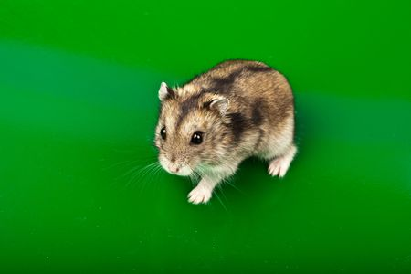 Winter White Russian Dwarf Hamster in studio against a green background. photo