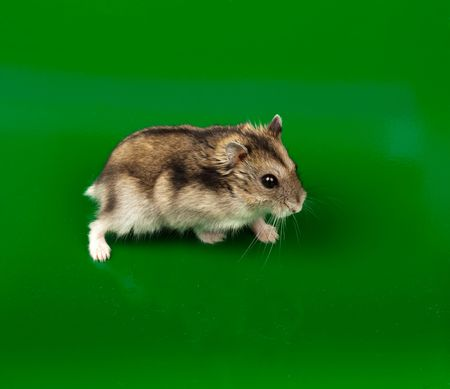 russian hamster: Winter White Russian Dwarf Hamster in studio against a green background.