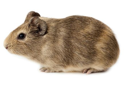 Guinea pig in studio against a white background. photo