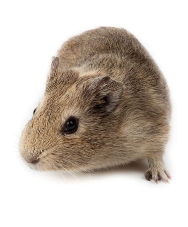 Guinea pig in studio against a white background. Stock Photo - 6479321